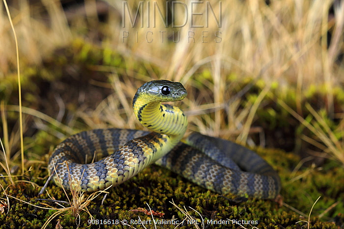 Eastern tiger snake (Notechis scutatus) newly hatched, Waratah Bay,South Gippsland, Victoria, Australia, June.