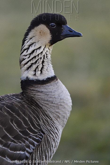 Hawaiian Goose, or Nene (Branta sandvicensis) Maui, Hawaii. Endemic.