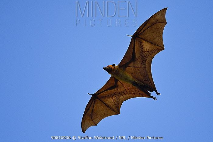 Indian flying fox or Greater Indian fruit bat (Pteropus giganteus) in Kanha National Park and Tiger Reserve, Madhya Pradesh, India