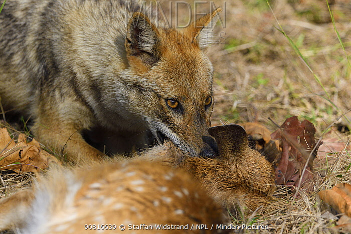 Golden jackal (Canis aureus) with its kill, Spotted deer or Chital (Axis axis) fawn, in Kanha National Park and Tiger Reserve, Madhya Pradesh, India