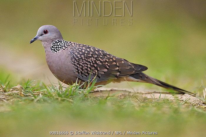 Spotted dove (Spilopelia chinensis) Keoladeo Ghana National Park, Bharatpur, Rajasthan, India