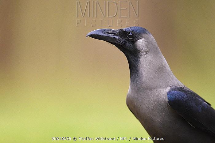 Indian jungle crow (Corvus culminatus) Keoladeo Ghana National Park, Bharatpur, Rajasthan, India