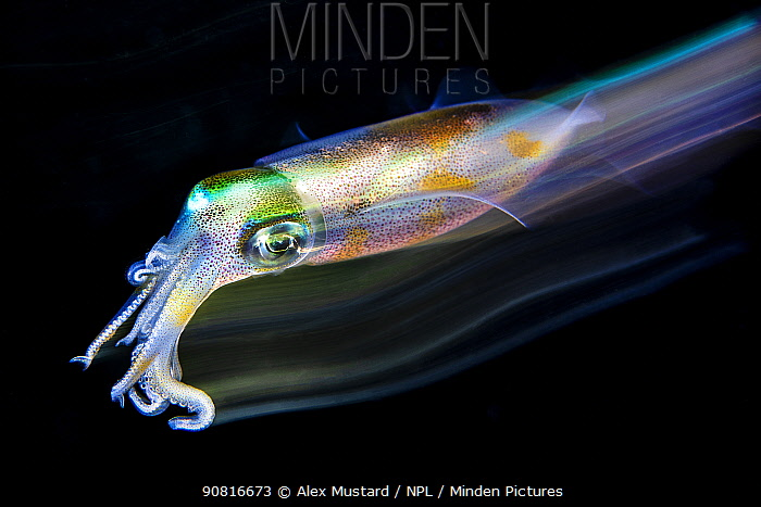 Long exposure of a bigfin reef squid (Sepioteuthis lessoniana) in open water at night. Bitung, North Sulawesi, Indonesia. Lembeh Strait, Molucca Sea.