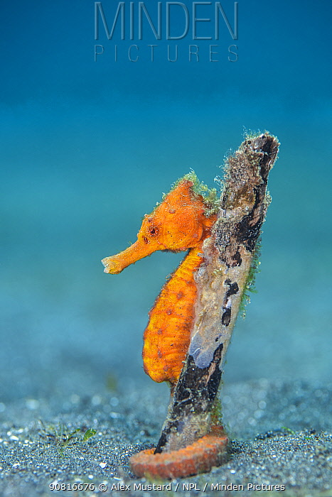 Common seahorse (Hippocampus kuda) female wrapping her prehensile tail around piece of wood on the seabed. Bitung, North Sulawesi, Indonesia. Lembeh Strait, Molucca Sea.