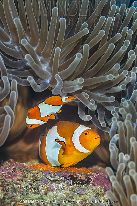 Pair of Western clown anemonefish (Amphiprion ocellaris) spawning orange eggs on the rock beneath their Magnificent sea anemone (Heteractis magnifica) home on a coral reef. This photo shows the larger female in the act of laying eggs, while the male waits to fertilise them. Bitung, North Sulawesi, Indonesia. Lembeh Strait, Molucca Sea.