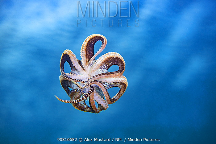 Free swimming mimic octopus (Thaumoctopus mimicus). Bitung, North Sulawesi, Indonesia. Lembeh Strait, Molucca Sea.