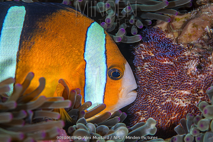 Clark's anemonefish (Amphiprion clarkii) tends to its clutch of eggs. Bitung, North Sulawesi, Indonesia. Lembeh Strait, Molucca Sea.