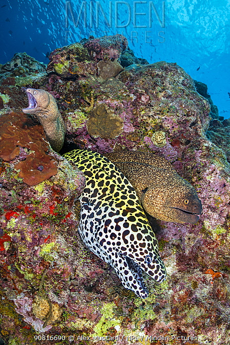 Three moray eels, a Honeycomb moray: (Gymnothorax favagineus), Yellowmargin moray: (Gymnothorax flavimarginatus) and White-eyed moray (Gymnothorax thrysoideus) emerge from a single hole in a coral reef. North Male Atoll, Maldives. Indian Ocean.