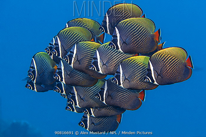 School of White collar butterflyfish (Chaetodon collare) pack together above a coral reef. North Male Atoll, Maldives. Indian Ocean