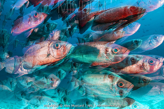 Long exposure with zoom blur of a school of crescent-tail bigeye (Priacanthus hamrur) on a coral reef. North Male Atoll, Maldives. Indian Ocean