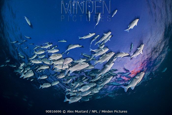 School of Lowfin chub (lowfin rudderfish: Kyphosus vaigiensis) swimming near the surface beneath a setting sun. Vavuu Atoll, Maldives. Indian Ocean