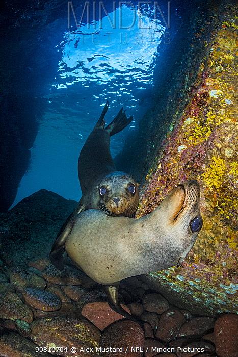 California sea lion (Zalophus californianus) pups in an underwater cave. Los Islotes, La Paz, Baja California Sur, Mexico. Sea of Cortez, Gulf of California, East Pacific Ocean.