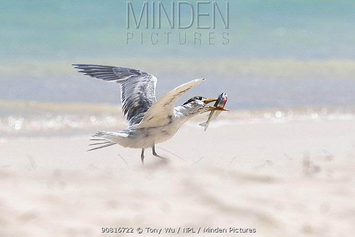 Greater crested tern (Thalasseus bergii) feeding on Sardine, Tonga.