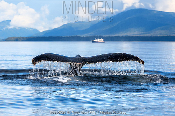 Water streaming off of a diving Humpback whale's (Megaptera novaeangliae) fluke, with 42ft Nordic Tug Legend visible in the background. Chantham Strait, Alaska, USA.