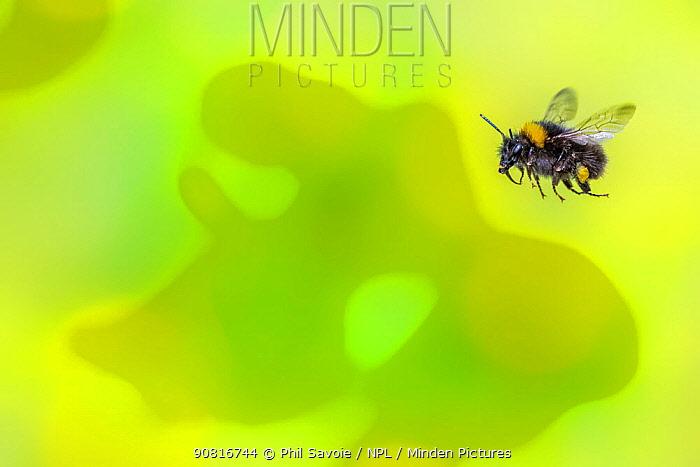 Early bumblebee (Bombus pratorum), in flight, Monmouthshire, Wales, UK. May