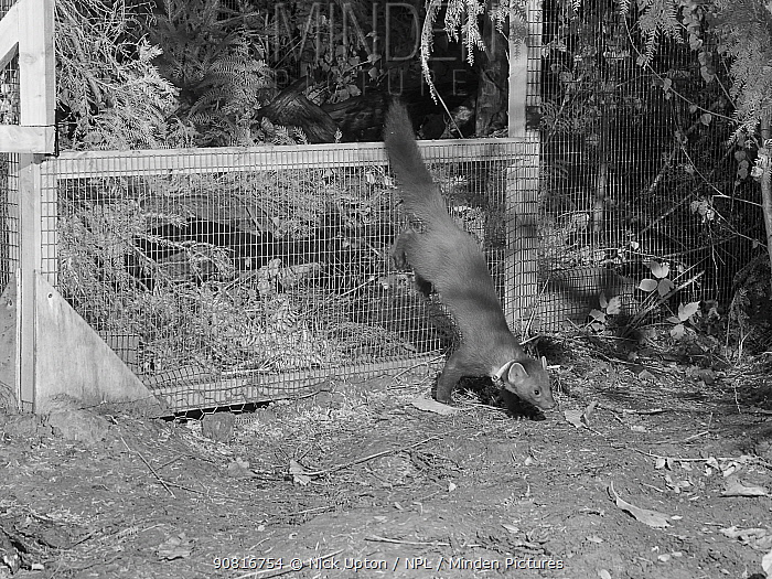 Radio-collared Male Pine Marten (Martes martes) emerging from a temporary soft release cage after dark during the Forest of Dean and River Wye Pine Marten Project, the Forest of Dean, Gloucestershire, UK, September 2019. Captured with a camera trap and infra-red light.