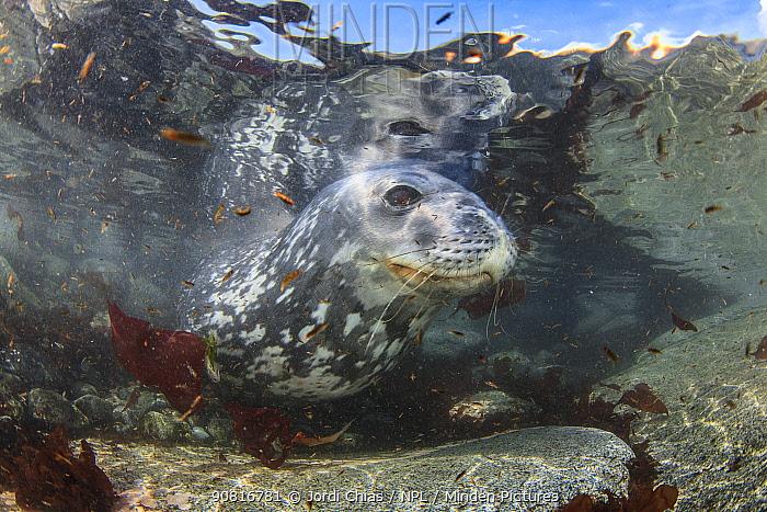 Weddell seal (Leptonychotes weddellii), Antarctic Peninsula, Antarctica.