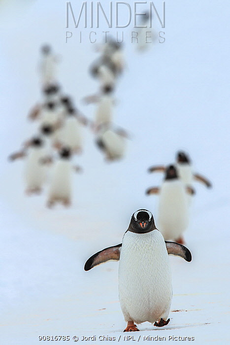 Gentoo penguins (Pygoscelis papua) walking in line, returning to nesting area, Port Charcot, Antarctic Peninsula, Antarctica.