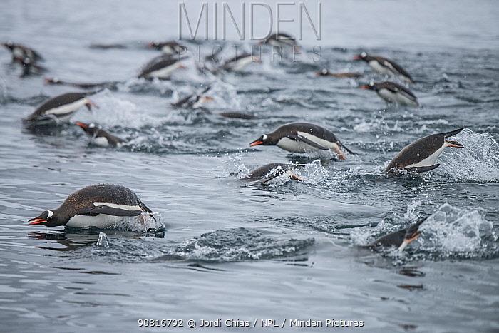Gentoo penguins (Pygoscelis papua) porpoising, swimming together in search of krill, Antarctic Peninsula, Antarctica.