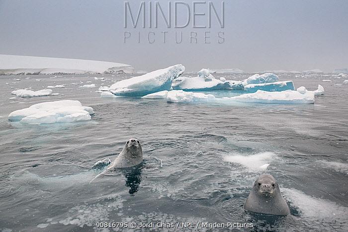 Crabeater seals (Lobodon carcinophaga) swimming betrween icebergs, Antarctic Peninsula, Antarctica.