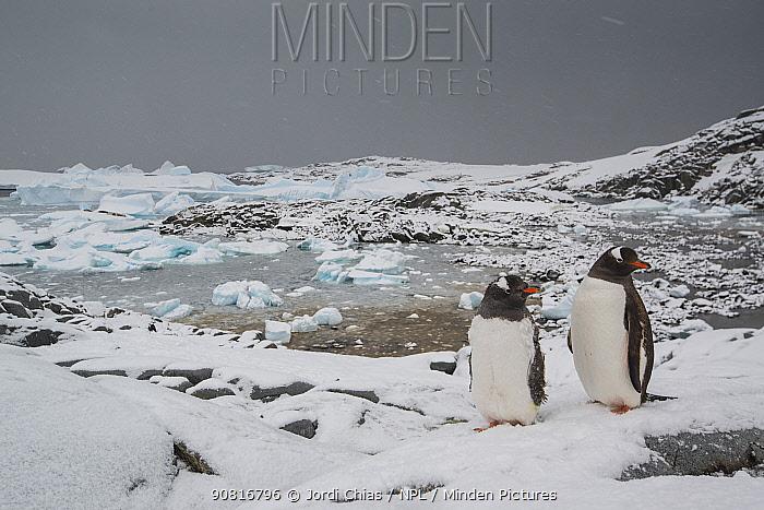 Gentoo penguin (Pygoscelis papua) with chicks, Port Charcot, Antarctic Peninsula, Antarctica.