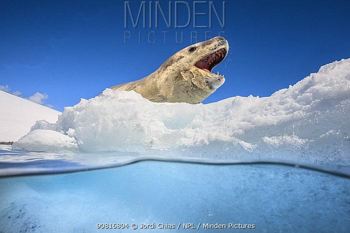 Leopard seal (Hydrurga leptonyx) resting over an iceberg, Antarctic Peninsula, Antarctica.