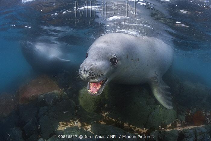 Crabeater seal (Lobodon carcinophaga), Antarctic Peninsula, Antarctica.