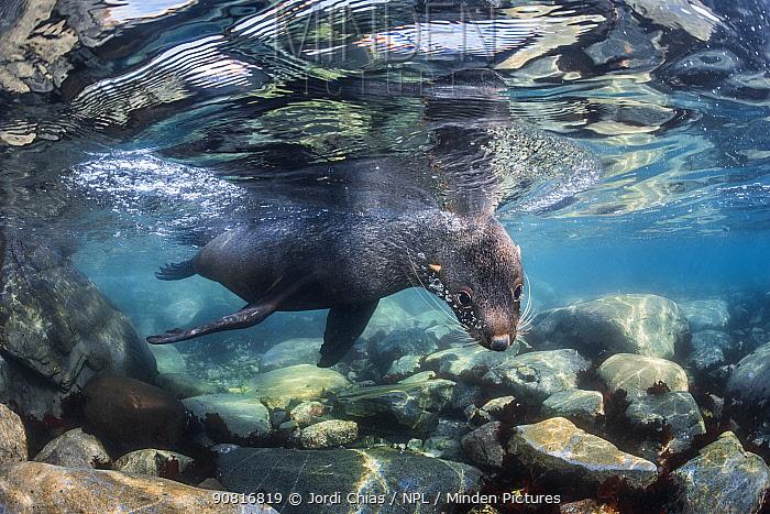 Antarctic fur seal (Arctocephalus gazella), Antarctic Peninsula, Antarctica.