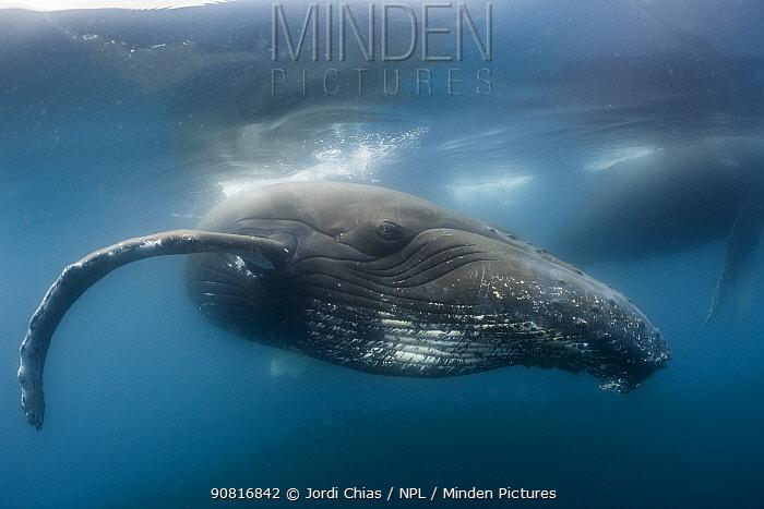 Humpback whale (Megaptera novaeangliae), Antarctic Peninsula, Antarctica.