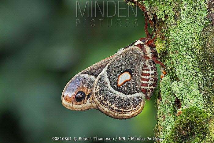 Columbia silkmoth (Hyalophora columbia) Lac-Drolet, province, Quebec, Canada, March.