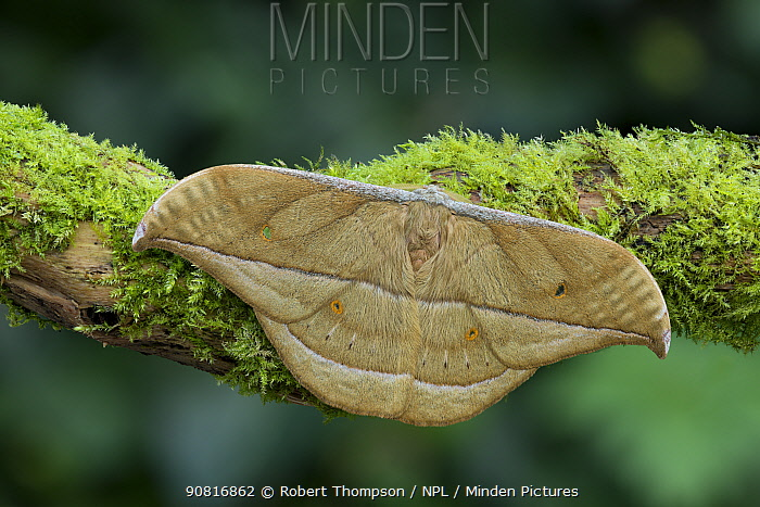 Moth (Copaxa witti) male, Obout village, Central Cameroon.