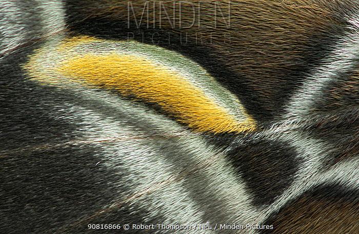 Eri silkmoth (Samia ricini) close up of wing, Zhejiang, China.