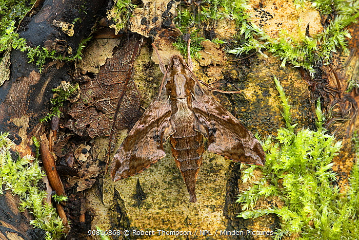 Moth (Eupanacra elegantulus) Nongmon Mraket, Seansunk, Muang Chonburi, Thailand. January.