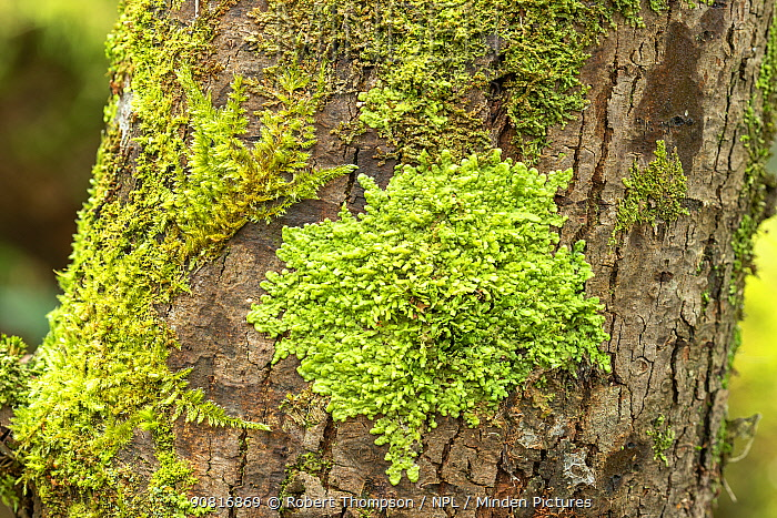 Flat-leaved scalewort (Radula complanata) Peatlands Park, Co. Armagh, Ireland. February.