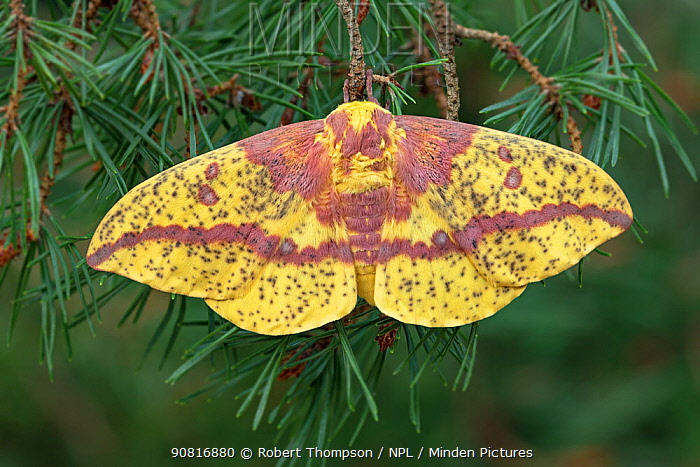 Pine imperial moth (Eacles imperialis) Lac-Drolet province Quebec, Canada, April.