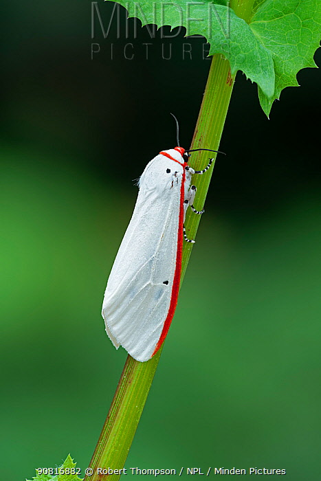 Red costate tiger moth (Aloa lactinea) Vang Vieng, Laos