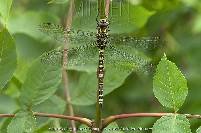 Southern hawker dragonfly (Aeshna cyanea) Hampshire, England, UK. July.