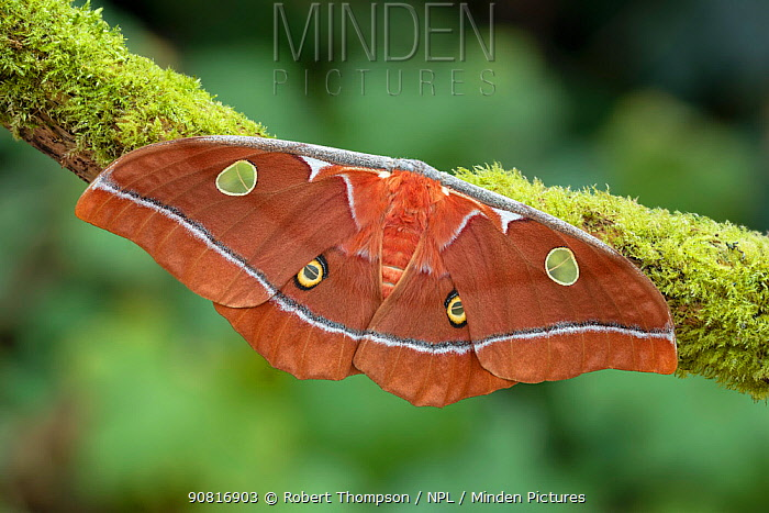 Moth (Antheaea godmani) Chiriqui Province, Santa Clara, Panama.