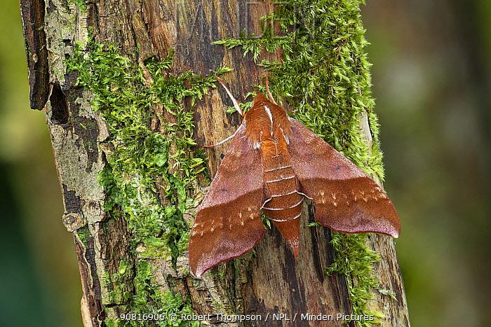 Azalea sphinx moth (Darapsa chloerilus) Lac-Drolet province, Quebec, Canada.