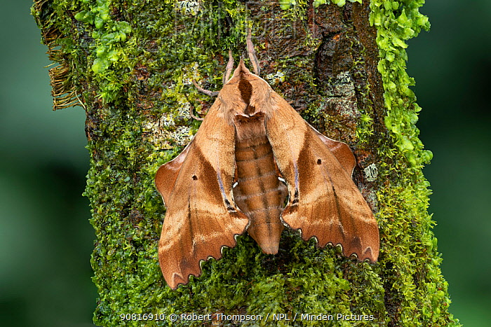 Blinded sphinx moth (Paonias excaecatus) Lac-Drolet Province, Quebec, Canada.