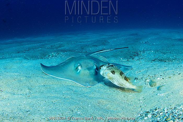 Diamond stingray (Dasyatis brevis) with Longspined porcupinefish (Diodon holocanthus), Cabo Pulmo Marine National Park, Baja California Sur, Mexico