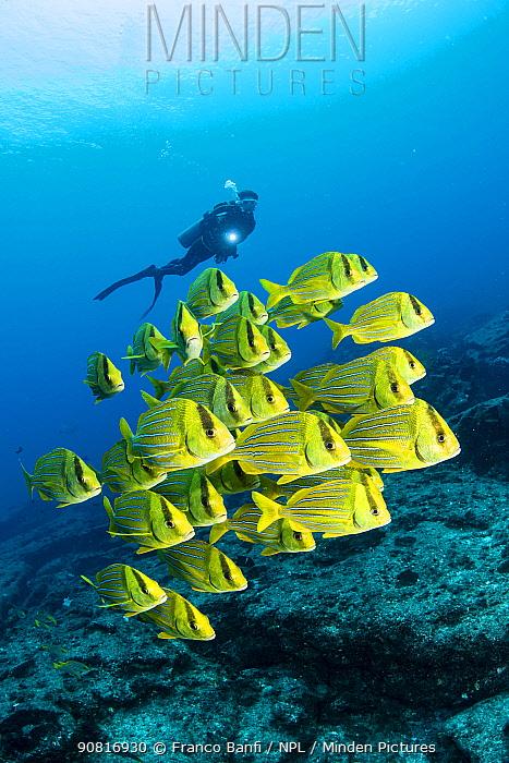 Scuba diver with shoal of colorful yellow fish Panamic porkfish (Anisotremus taeniatus), Cabo Pulmo Marine National Park, Baja California Sur, Mexico
