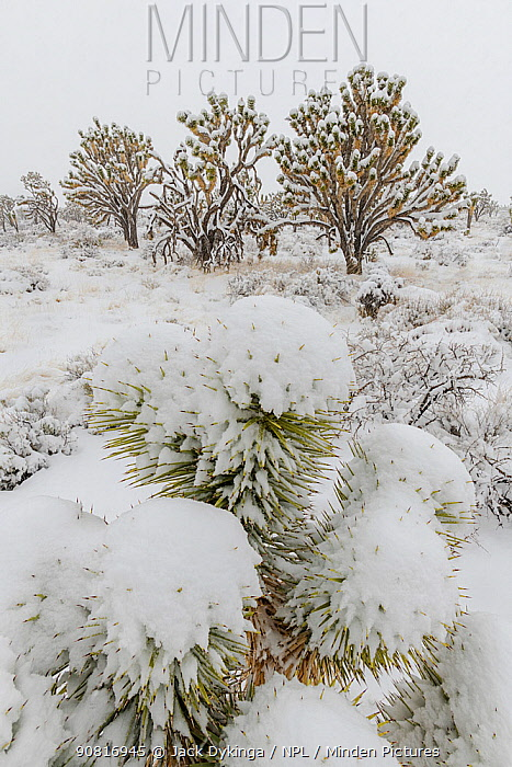 Cima Dome Joshua tree forest in a late-season blizzard. Joshua trees (Yucca brevifolia) and Mojave yuccas (Yucca schidigera) covered in a heavy blanket of snow. Mojave Natural Preserve, Mojave Desert, California, USA, February.