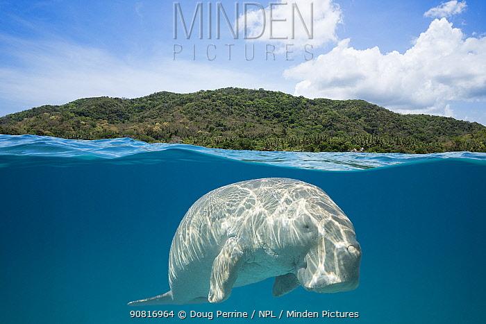 Dugong or Sea cow (Dugong dugon) split level view, Calauit Island, off Busuanga, Calamian Islands, Palawan, Philippines.