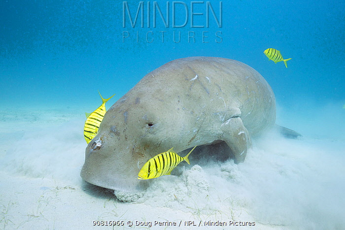 Dugong or Sea cow (Dugong dugon) feeding on seagrass with commensal juvenile Golden trevally (Gnathanodon speciosus) Calauit Island, off Busuanga, Calamian Islands, Palawan, Philippines.