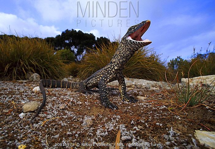 Heath monitor lizard (Varanus rosenbergi) in threat display responding to a perceived threat. Baudin Beach, Kangaroo Island, South Australia.