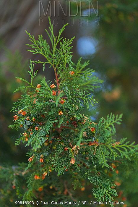 Spanish juniper (Juniperus thurifera), Sabinar de Hornuez, Castille and Leon, Spain. October.