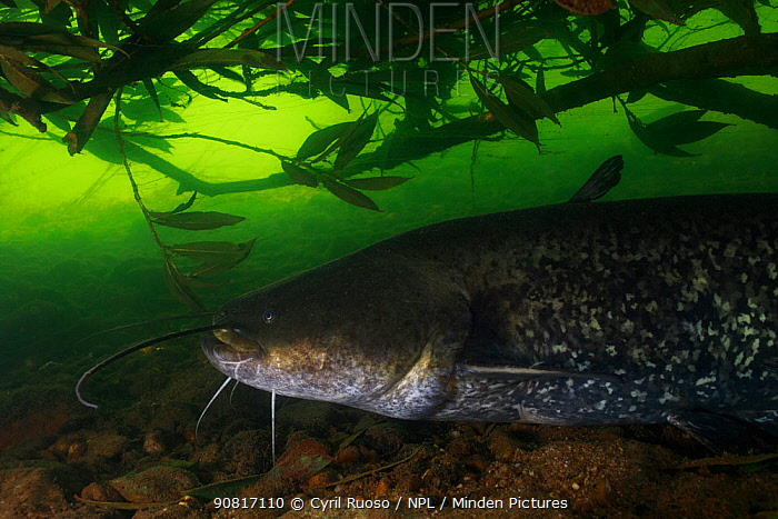 Wels catfish (Silurus glanis) in the Tarn river, France, August.