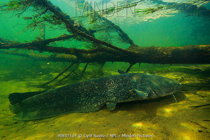 Wels catfish (Silurus glanis) Loire river, France. November.