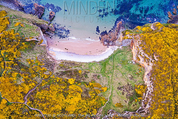 Clashach cove surrounded by flowering Gorse (Ulex europaeus) Hopeman, Scotland, UK, May.